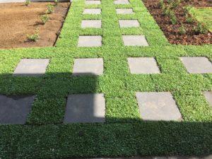 Dichondra Plant Tile