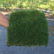 Plant Tile of Zoysia tenuifolia