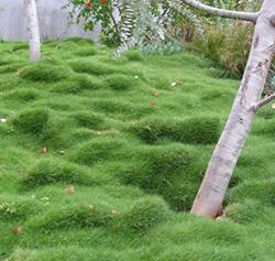 Plant Tiles of Zoysia tenuifolia