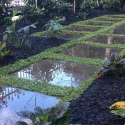 ground cover Dichondra repens